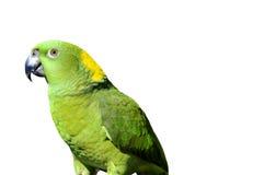 Yellow naped parrot: Amazona auropalliata Stock Photo