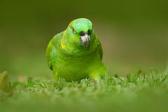 Yellow-naped Parrot, Amazona auropalliata, portrait of light green parrot with red head, Costa Rica. Detail close-up portrait of b. Ird Stock Photos