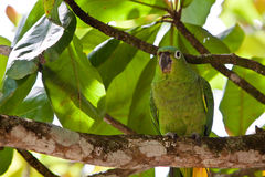 Yellow-naped parrot bird sitting on a branch Stock Photos