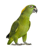 Yellow-naped parrot looking at the camera (6 years old) Stock Photo