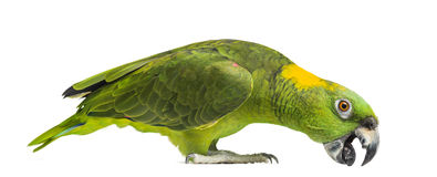 Yellow-naped parrot pecking (6 years old), isolated Stock Images