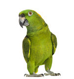 Yellow-naped parrot (6 years old), isolated Stock Photo