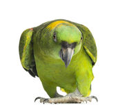 Yellow-naped parrot (6 years old), isolated Stock Photography
