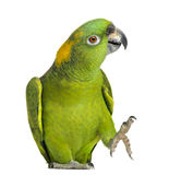 Yellow-naped parrot (6 years old), isolated Stock Image