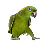 Yellow-naped parrot (6 years old), isolated. On white Royalty Free Stock Image