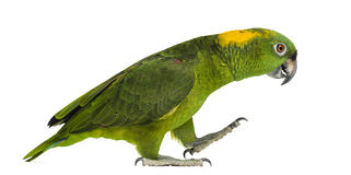 Yellow-naped parrot (6 years old) walking, isolated. On white Royalty Free Stock Images