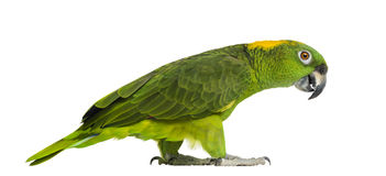 Yellow-naped parrot (6 years old) walking, isolated. On white Stock Photo