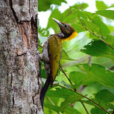 Yellow-naped Woodpecker. A female Greater Yellownape bird, Yellow-naped Woodpecker (Picus flavinucha), bird of Thailand Royalty Free Stock Image