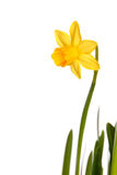 Yellow Narcisse Stock Photo