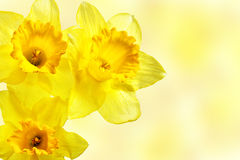 Yellow narcissi Stock Photography