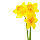 Yellow narcissi Stock Images