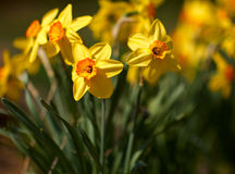 Yellow Narcissus Royalty Free Stock Photography