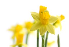Free Yellow Narcissus Stock Photography - 13432592
