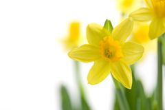 Free Yellow Narcissus Royalty Free Stock Images - 13432929