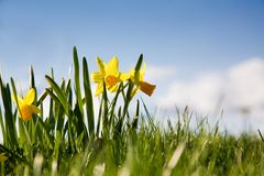 Yellow narcissus Stock Photos