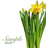 Yellow narcissus Royalty Free Stock Photo