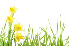 Yellow narcissus Stock Photography