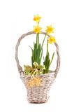 Yellow narcissus Stock Image