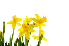Free Yellow Narcissus Stock Photo - 28952940