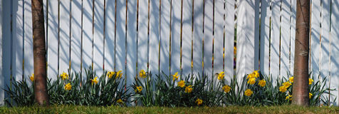 Yellow Narcissus. A white picket fence with a row of narcissus Stock Photo