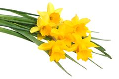 Yellow narcissus. Yellow spring narcissus on white background royalty free stock images