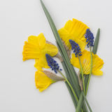 Yellow Narcissus and a bleubell. Narcissus and bleubells, Muscari Botryoides in 1 mm Stock Photos