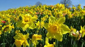 Yellow Narcissus Blooming During Spring Against Blue Sky stock photo