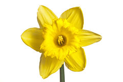 Yellow narcissus blooms against white. Single yellow daffodil flower isolated on white royalty free stock photography