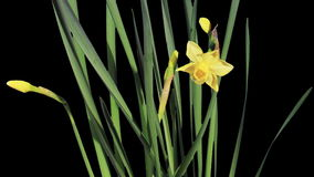 Yellow narcissus blossom buds ALPHA matte,  stock video footage