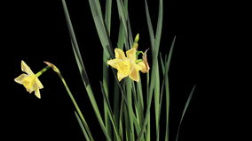 Yellow narcissus blossom buds ALPHA matte, FULL HD (Narcissus Jonquilla Pipit). timelapse stock footage