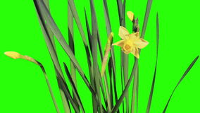 Yellow narcissus blossom buds green screen. stock video footage