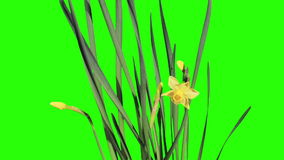 Yellow narcissus blossom buds green screen stock footage