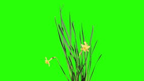 Yellow narcissus blossom buds green screen, FULL HD stock video