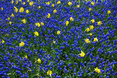 Yellow Narcissus and blue Lupine flowers on meadow Stock Photo