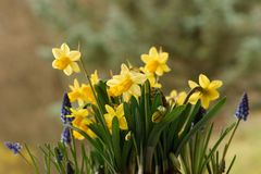 Yellow narcissus and blue muscari flowers Stock Image