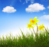 Yellow narcissus and blue sky. Royalty Free Stock Image