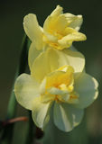 Yellow narcissus Cheerfulness. In spring garden stock image