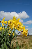 Yellow Narcissus in the country Stock Image