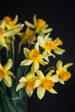 Yellow narcissus or daffodil flowers on black background. Selective focus. Place for text. Royalty Free Stock Image