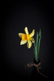 Yellow narcissus or daffodil flowers on black background. Selective focus. Place for text. Royalty Free Stock Photography