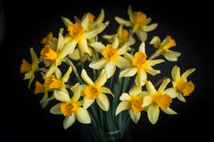 Yellow narcissus or daffodil flowers on black background. Selective focus. Place for text. Royalty Free Stock Photo