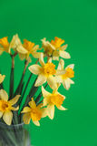 Yellow narcissus or daffodil flowers on green background. Selective focus. Place for text. Stock Photo
