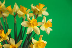 Yellow narcissus or daffodil flowers on green background. Selective focus. Place for text. Royalty Free Stock Photos