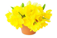 Yellow Narcissus / Daffodils Stock Image