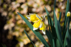Yellow narcissus Royalty Free Stock Photos