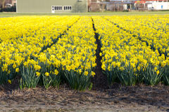 Yellow narcissus field with some buildings on the background. Netherlands Stock Photography