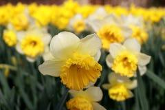 Yellow narcissus Stock Photo