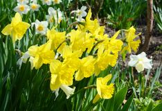 Yellow narcissus flower also known as daffodil, daffadowndilly, narcissus, and jonquil. Springtime flower bed royalty free stock image