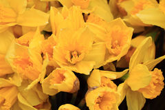 Yellow narcissus flower background Stock Photography