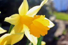 Yellow narcissus flower Stock Image